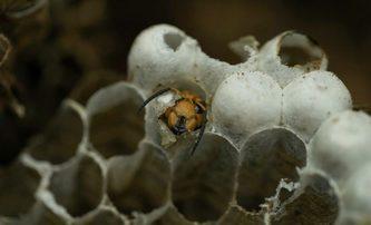 Attack of the Murder Hornets: Vědecký pohled na sršní apokalypsu | Fandíme filmu